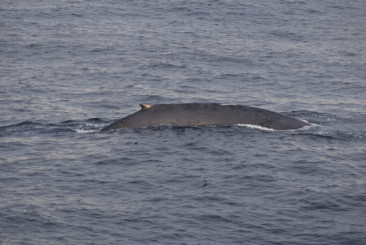 Blue Whales 80 deg N 16 Aug 25